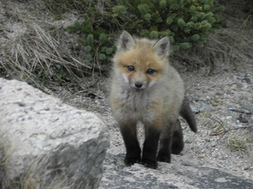 foxbaby2