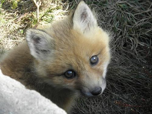 foxbaby3
