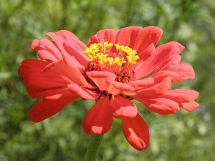 from Celia Thaxter's garden