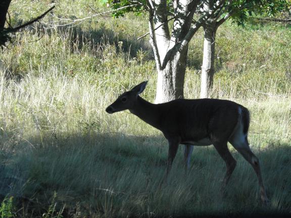 acadia deer.jpg