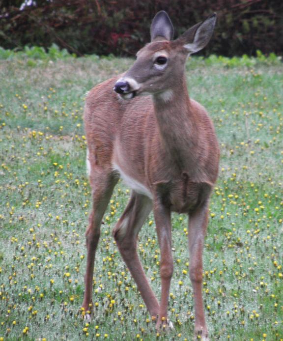 doe a deer.jpg